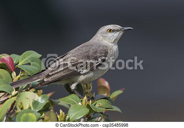 Northern Mockingbird Perched in a Shrub - Florida - csp35485998