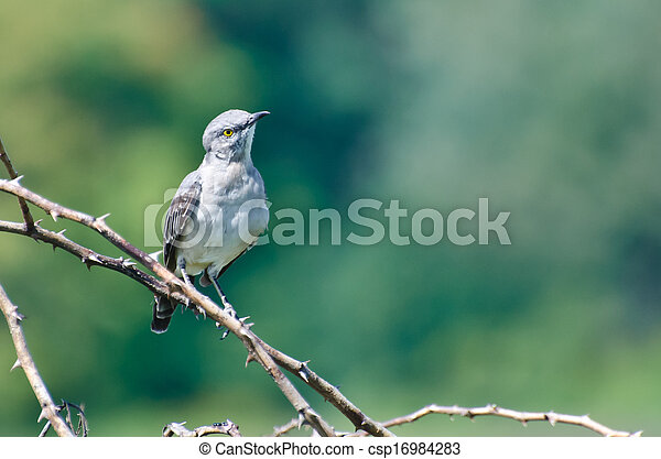 Northern Mockingbird Perched in a Tree - csp16984283