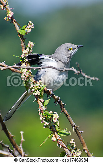 Northern Mockingbird Perched in a Tree - csp17469984