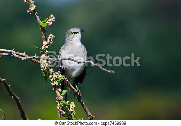 Northern Mockingbird Perched in a Tree - csp17469989