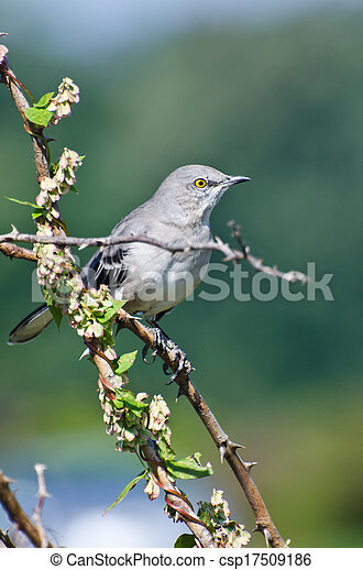 Northern Mockingbird Perched in a Tree - csp17509186