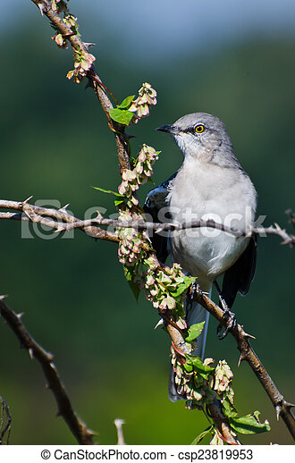 Northern Mockingbird Perched in a Tree - csp23819953