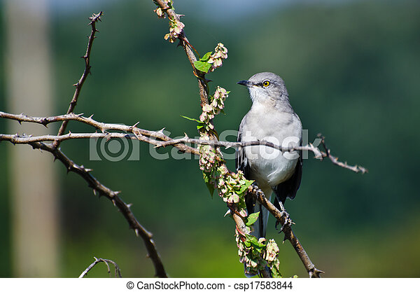 Northern Mockingbird Perched in a Tree - csp17583844