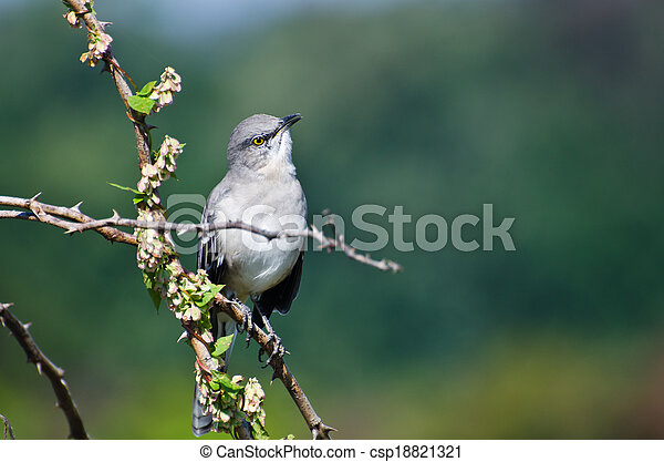 Northern Mockingbird Perched in a Tree - csp18821321