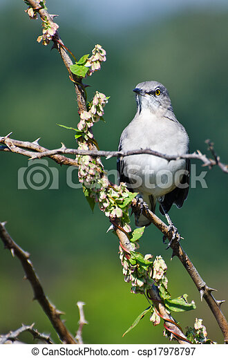 Northern Mockingbird Perched in a Tree - csp17978797