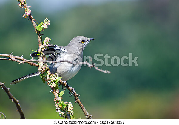 Northern Mockingbird Perched in a Tree - csp17583837
