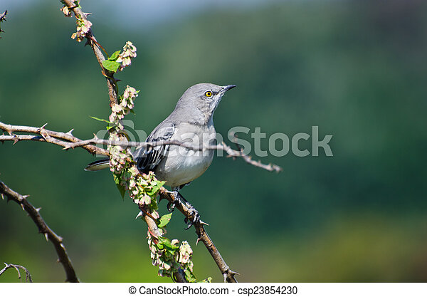 Northern Mockingbird Perched in a Tree - csp23854230
