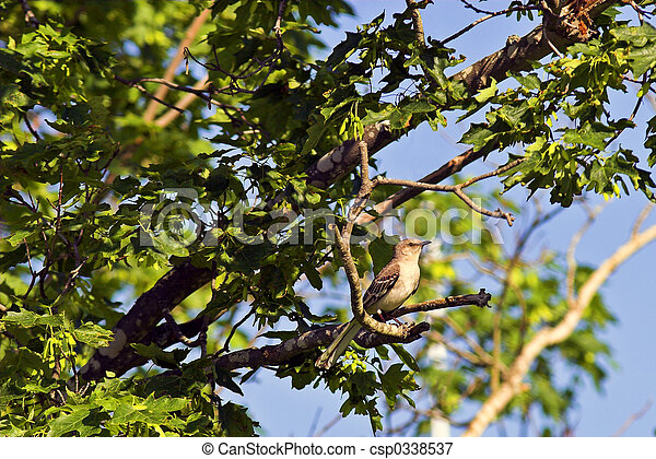 Northern Mockingbird - csp0338537
