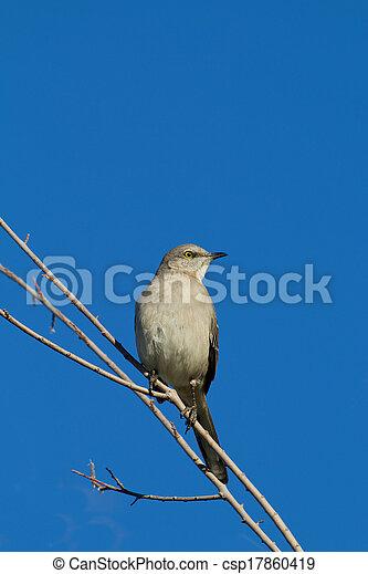 Northern Mockingbird - csp17860419