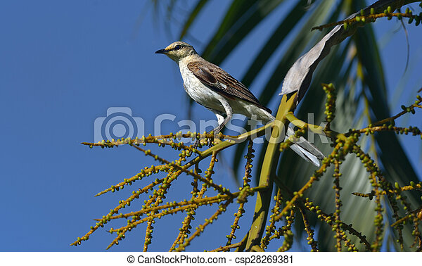 Northern Mockingbird - csp28269381