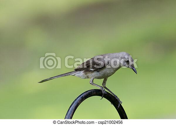 Northern Mockingbird - csp21002456
