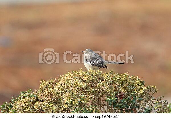 Northern Mockingbird - csp19747527