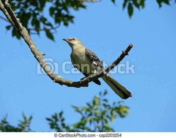 Northern Mockingbird - csp2203254