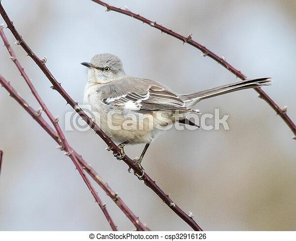 Northern Mockingbird - csp32916126