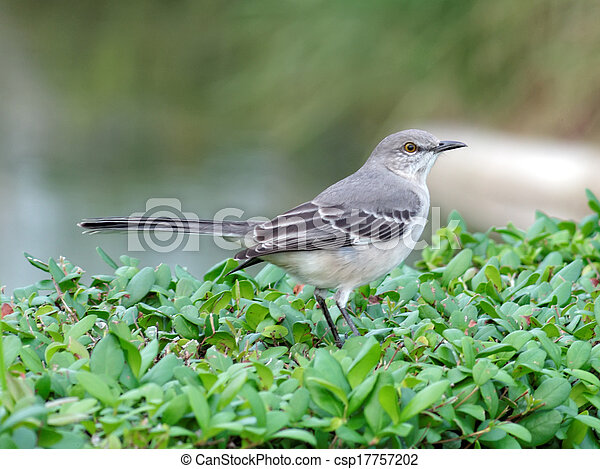Northern Mockingbird - csp17757202