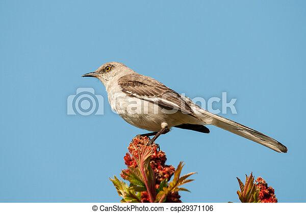 Northern Mockingbird - csp29371106