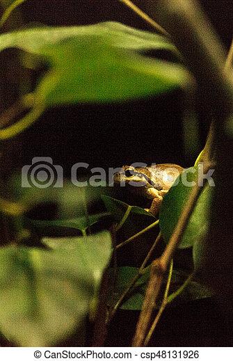 Northern Pacific Tree Frog Pseudacris regilla - csp48131926