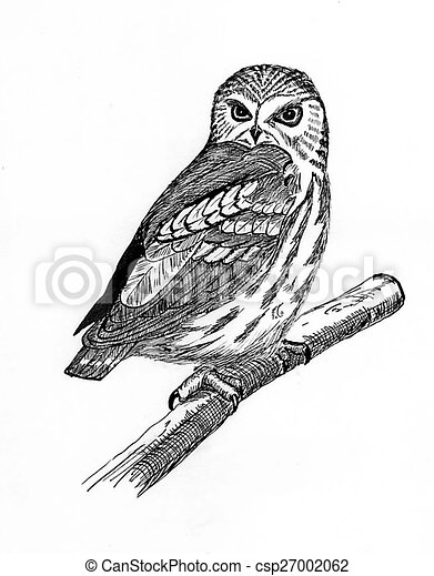 Northern Saw-whet Owl - csp27002062