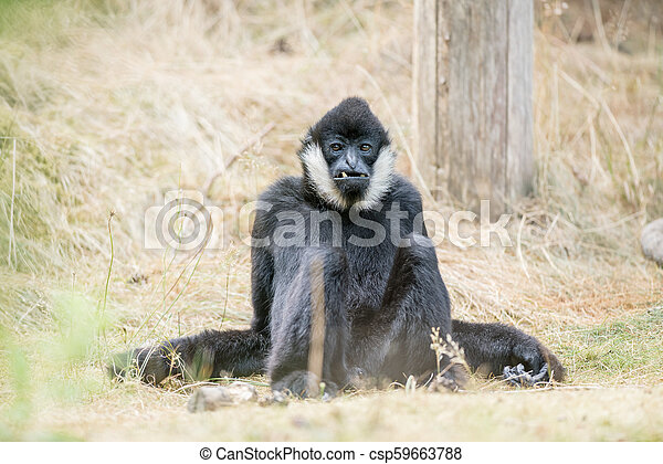 Northern white cheeked gibbon - csp59663788