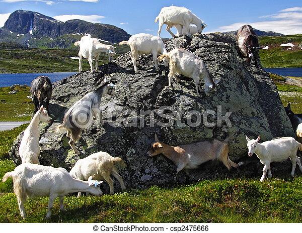 norvège, chèvres - csp2475666