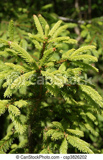 Norway Spruce Picea Abies Shoots