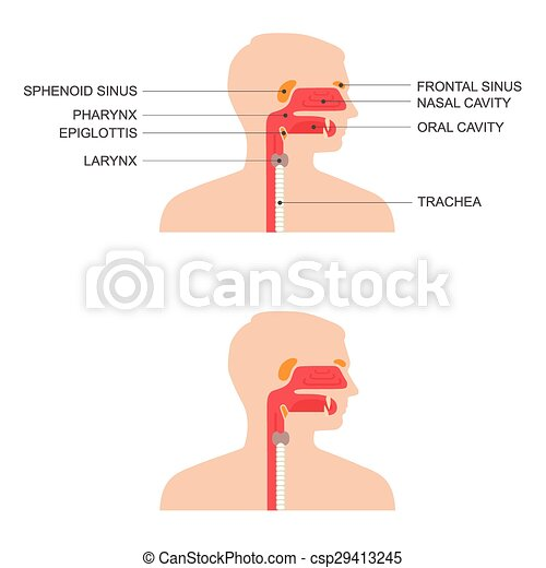 Nose, throat anatomy, human mouth, respiratory system.