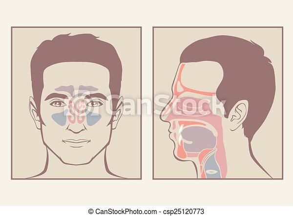nose, throat anatomy,  - csp25120773