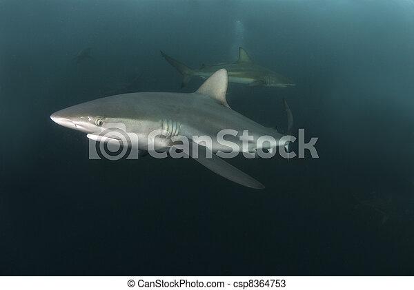 Nosy shark - csp8364753