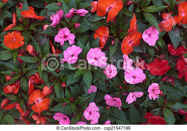 nouvelle guin e fleur impatiens rose garden plante. Black Bedroom Furniture Sets. Home Design Ideas