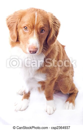 Young Red Nova Scotia Toller Isolated On White Background
