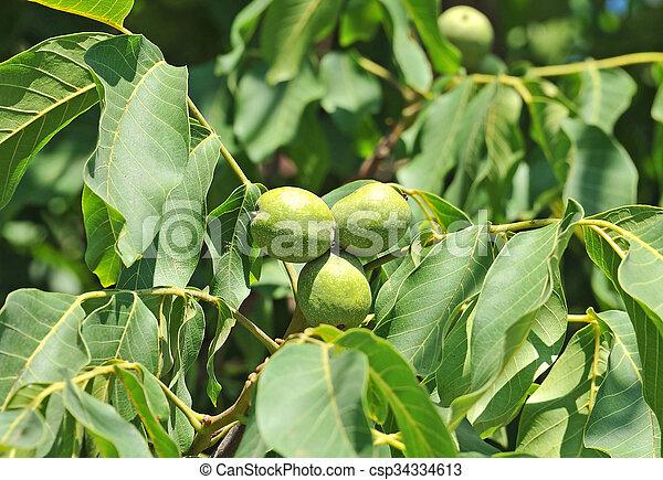 noyer juglans fruit regia regia arbre noix fruit branche juglans. Black Bedroom Furniture Sets. Home Design Ideas