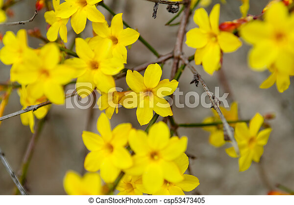 Nudiflorum Hiver Jasmin Fleur Jaune Jasminum Nudiflorum Hiver