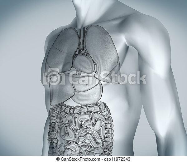 numérique, gris, organes, corps - csp11972343