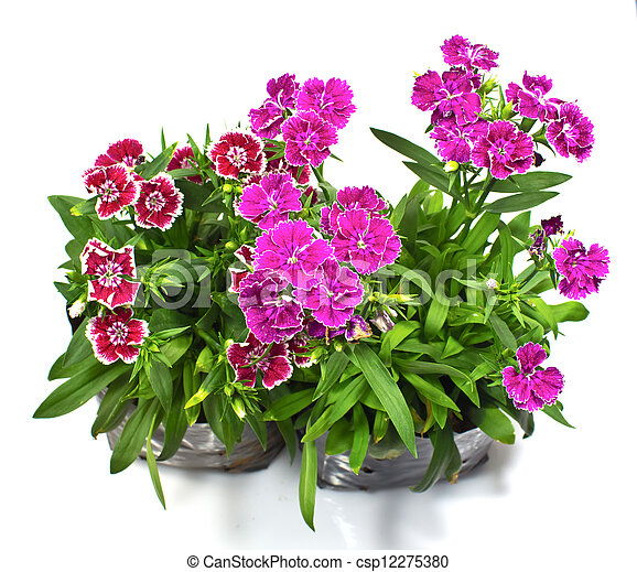 Nursery bags with dianthus flowers isolated on white background - csp12275380
