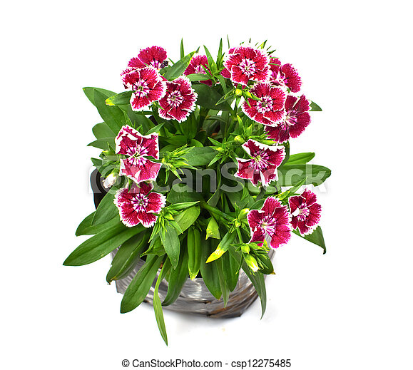 Nursery bags with dianthus flowers isolated on white background - csp12275485