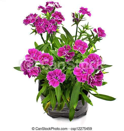 Nursery bags with dianthus flowers isolated on white background - csp12275459