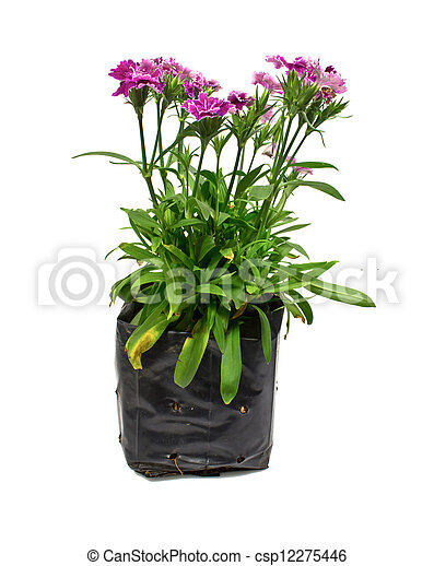 Nursery bags with dianthus flowers isolated on white background - csp12275446