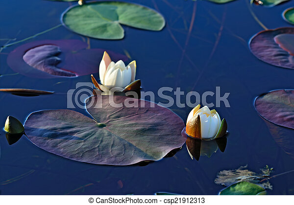 Nymphaea alba (water lily) - csp21912313