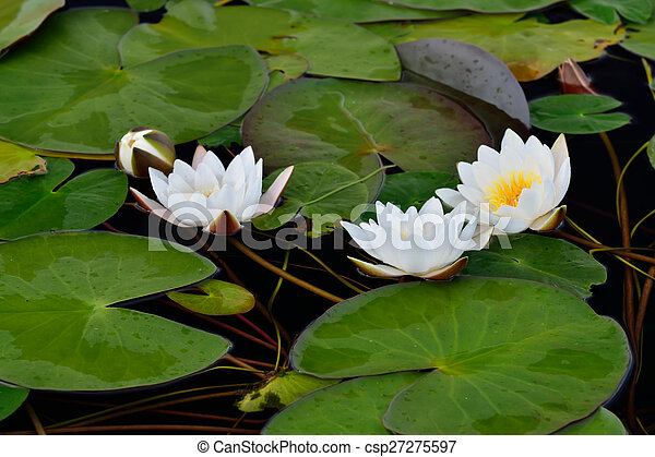 Nymphaea alba (water lily) - csp27275597