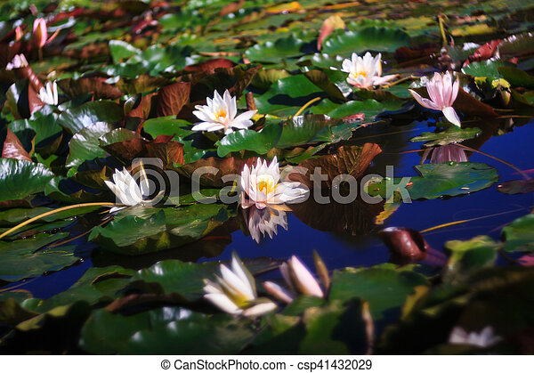 Nymphaea called Water Lilly - csp41432029