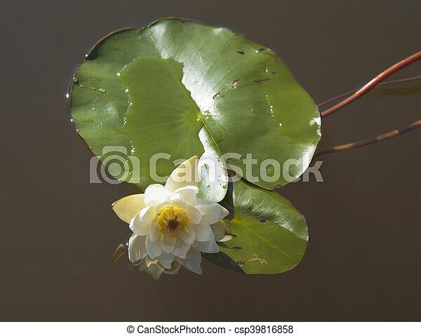 Nymphaea tetragona Pygmy Waterlily - csp39816858