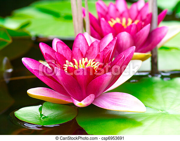 Nymphaea Water lilly in a pond - csp6953691