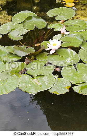 Nymphaea , Water Lilly - csp8553867