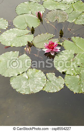 Nymphaea , Water Lilly - csp8554227
