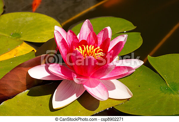 Nymphaea, Water Lilly - csp8902271