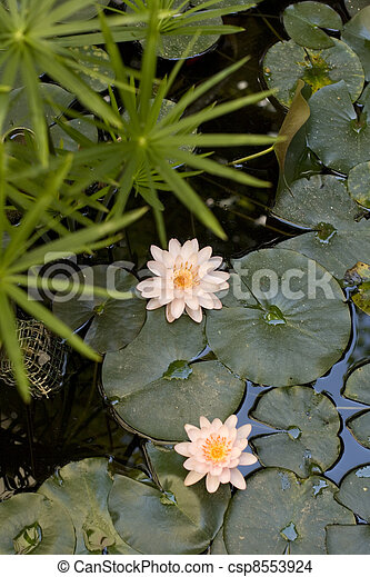 Nymphaea , Water Lilly - csp8553924