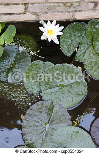 Nymphaea , Water Lilly - csp8554024