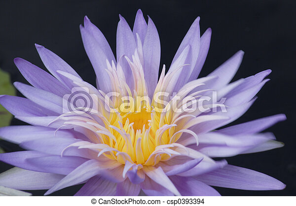 Nymphaea Waterlilly - csp0393394