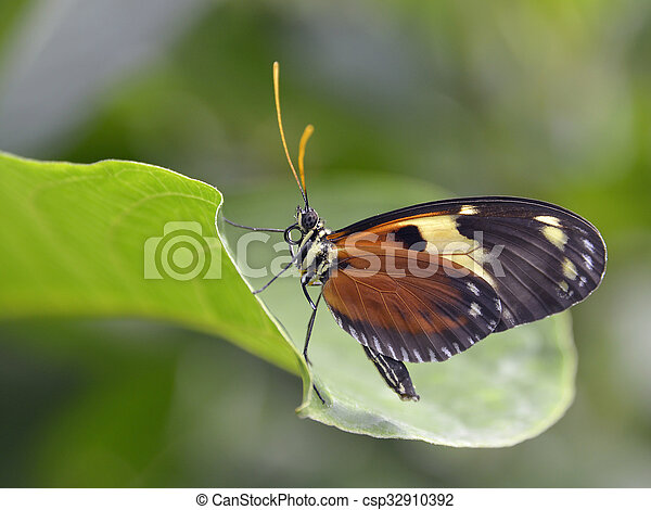 Nymphalidae butterfly on leaf - csp32910392