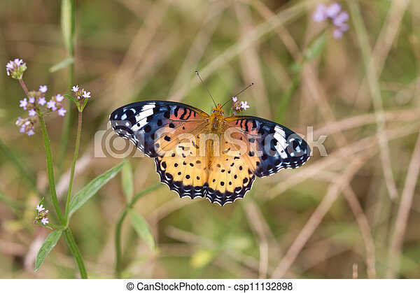Nymphalidae - csp11132898